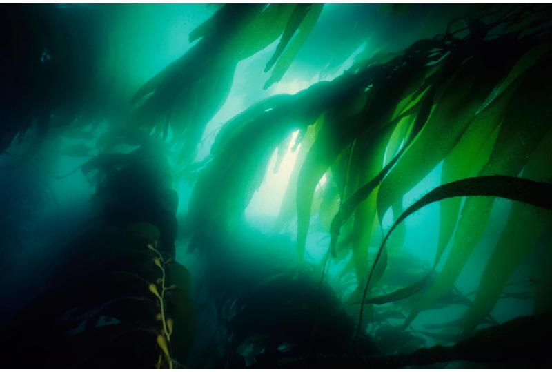 Seaweed 'forests' can help fight climate change